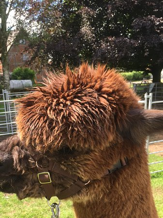 Henley in Arden, UK: An alpaca