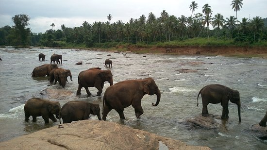 Pinnawala Elephant Orphanage: Together in water