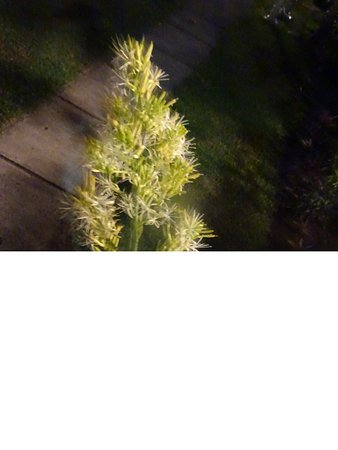 Wellbeach Dive Resort: Grappe de fleurs devant notre terrasse s'ouvrant à la nuit tombée et sentant le Jasmin