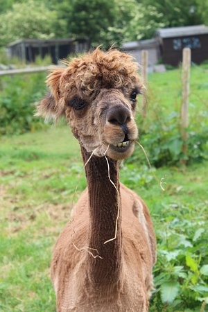 Mistley Place Park Animal Rescue Centre: Alpaca 2