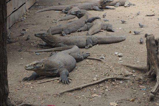 The komodo dragons in Rinca Island