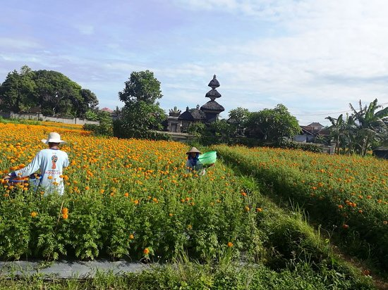 Gday Bali Driver - Day Tours: flower field in middle of Bali
