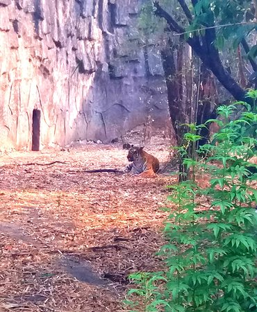 Rajiv Gandhi Zoological Park : tiger