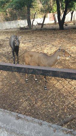 Rajiv Gandhi Zoological Park : nilgai