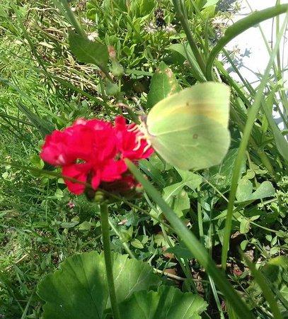 SuneoClub Aristoteles Holiday Resort & Spa: Beautiful butterflies everyday