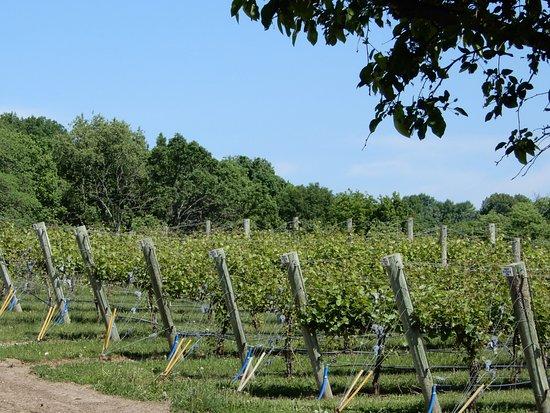 Kasota, MN: Vineyard