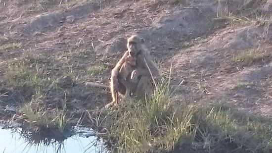 Caprivi Region, Namíbia: Primaten am Kwando