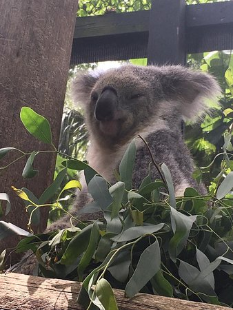 Palm Beach Zoo & Conservation Society : The koala experience!!!