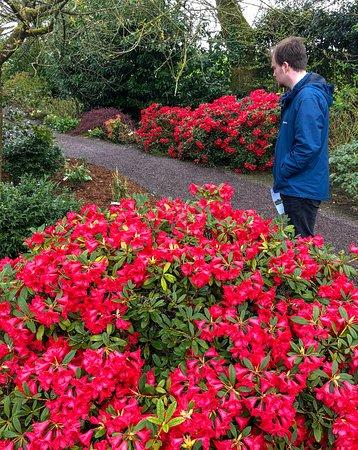 Aberglasney Gardens : Azaleas in Aberglasney