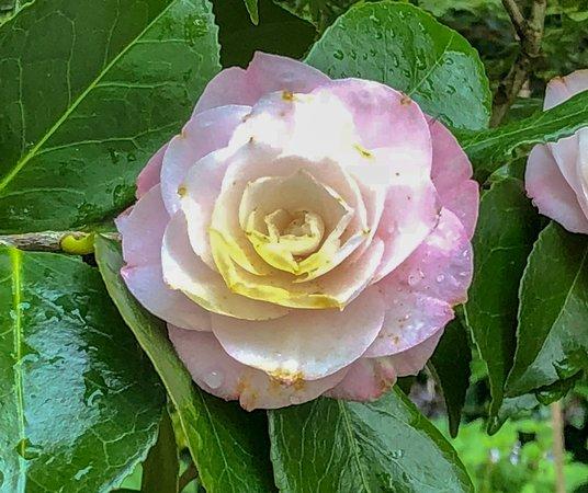 Aberglasney Gardens : Camellia in Aberglasney