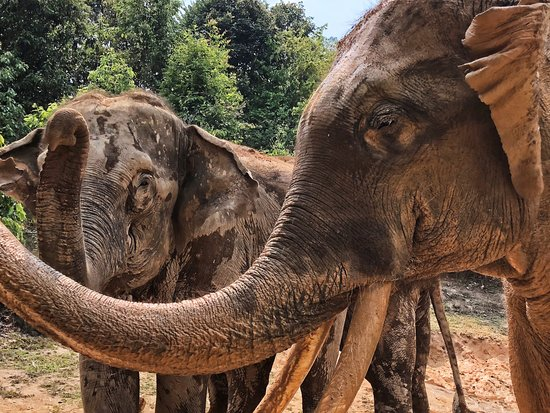 Karen's Tribe Native Elephants照片