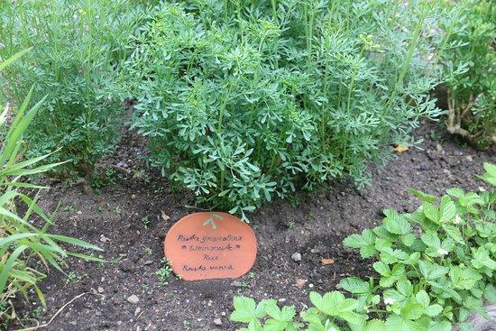Bibelpflanzengarten: Königstein - Bibelgarten 8