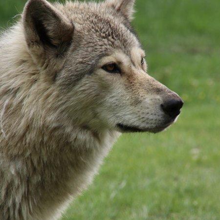 Yamnuska Wolfdog Sanctuary Photo