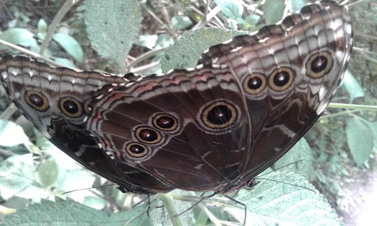 Bioparque La Reserva: Mariposa morpho azul