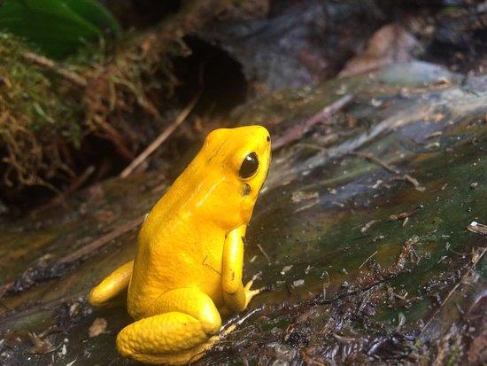 Cota, Colombia: Rana venenosa (phyllobates terribilis)