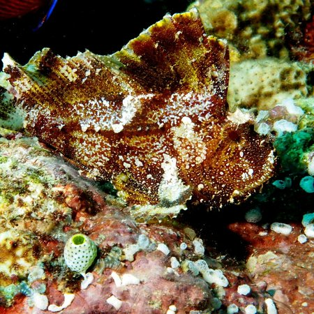 East New Britain, Papua Nowa Gwinea: An extremely well camouflaged Leafy Scorpion Fish.