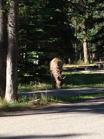 Parc national Banff, Canada: elk