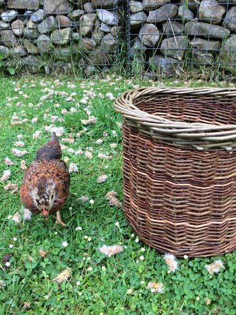 Spiddal, Ireland: This is the basket I made on Day 2. I took the photo at home, next to my young hen chick Honey.