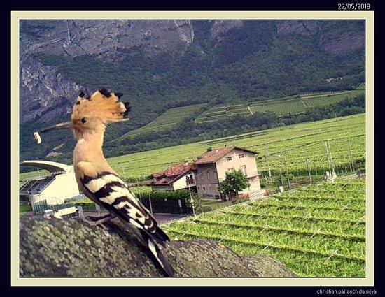 Mezzolombardo, Italy: upupa migratrice sul tetto come sfondo le vigne di teroldego
