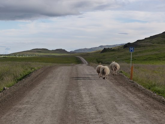 ไอซ์แลนด์: Ever present sheep on the road, Iceland
