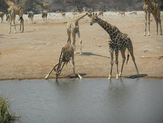 Etosha Pan: Giraffen