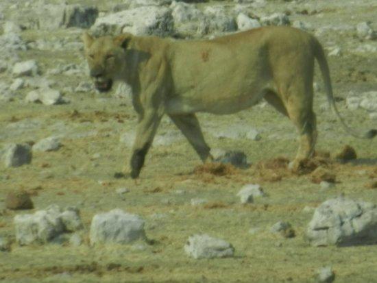 Etosha Pan: Löwin