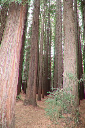 Redwood Forest: Inside are the Redwood trees