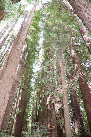 Redwood Forest: They are huge!