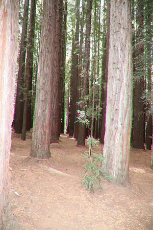 Redwood Forest: They were symmetrically planted