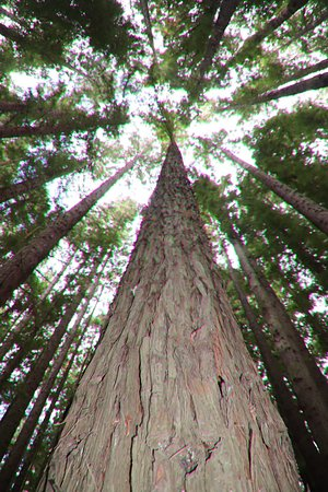 Redwood Forest: A beauty!