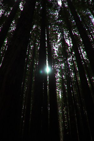 Redwood Forest: Sometimes the light is hard to get in