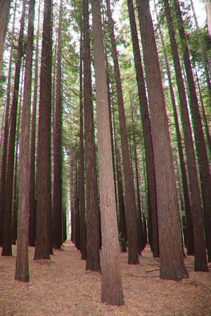 Redwood Forest: What a great walk in the Redwoods