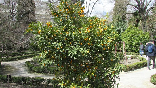 Real Jardín Botánico: citrus 2