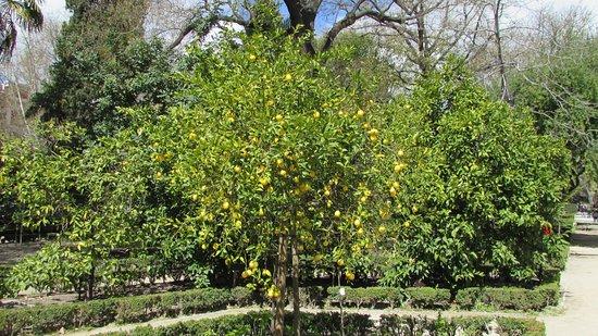Real Jardín Botánico: citrus 3