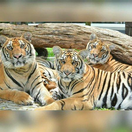 Tiger Park Pattaya照片