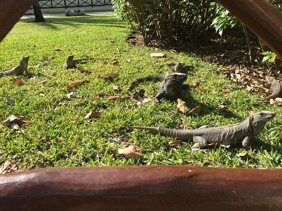 Bahia Principe Grand Coba : Iguanas roaming free