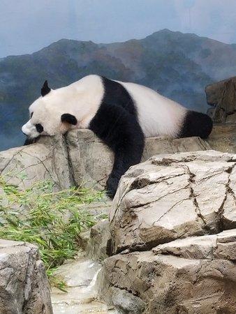 National Zoological Park: resting panda