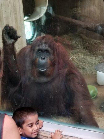 """National Zoological Park: lowland gorilla saying """"hi."""""""