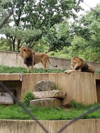 National Zoological Park: fabulous lion brothers