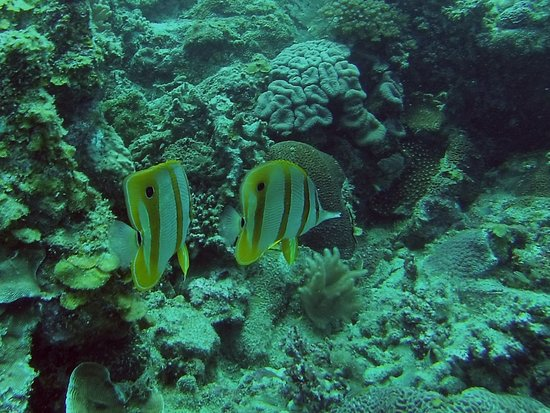 B&J Diving Centre: Butterflyfish