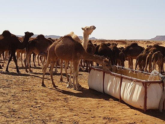 Aspectos De Marruecos Viajes: dromedarios