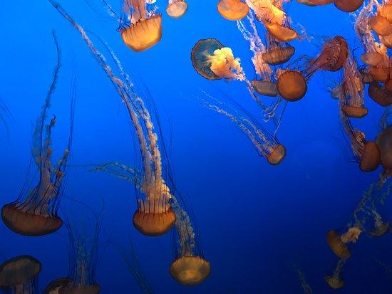 Monterey Bay Aquarium: Jellyfish