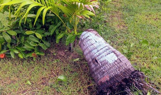 Sol Cayo Guillermo: Damaged tree by Hurricane Irma