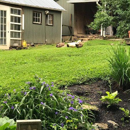 Lincoln, VA: Fresh chicken eggs and very cute ducks at CC farm!
