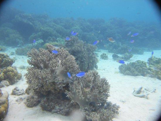 The Blue Abyss Dive Shop : Joli Plateau Jardin de Corail en fin de Plongée à Tuble Sanctuary