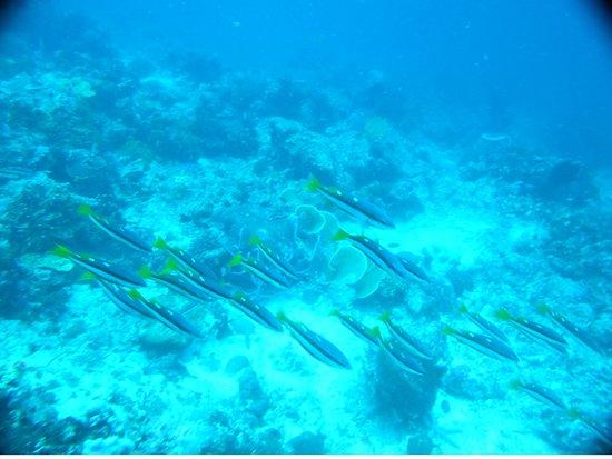 The Blue Abyss Dive Shop : Bridled Monocle Dorade Scolopsis Bilineatus Dungan de Pescador Island