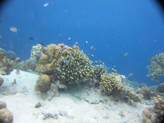 The Blue Abyss Dive Shop: Bouquet de Demoiselles Bagnards sur les Coraux Tuble Sanctuary
