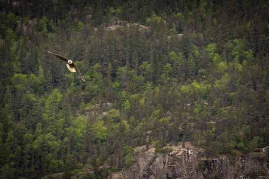 3-Hour Scooter Tour of Skagway, Alaska: Eagle caught mid flight