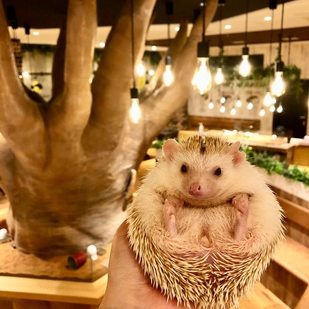 Hedgehog Cafe Harry Yokohama