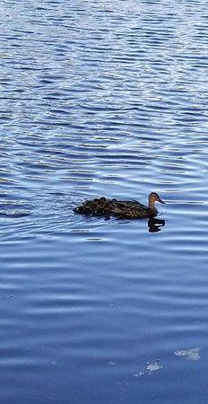Johnston War Memorial Park: Duck and Ducklings
